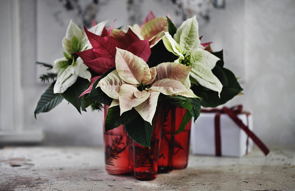 Dekorera med julstjärna