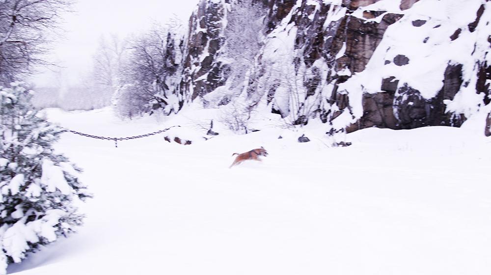 borderterrier, svensk vinter