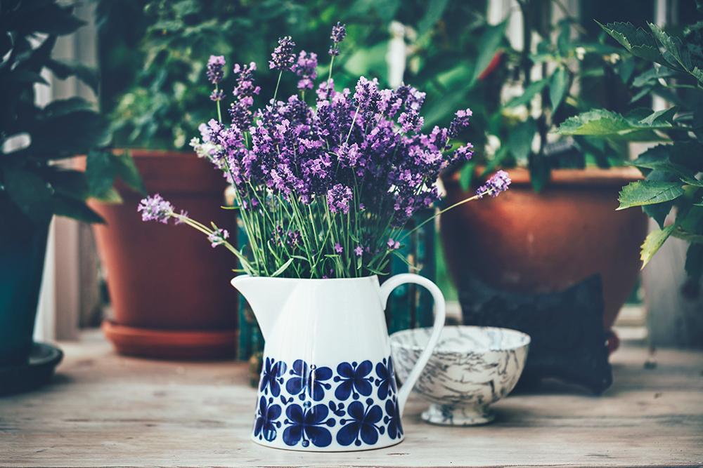 Skörda Lavendel och blommande Dahlior i växthuset