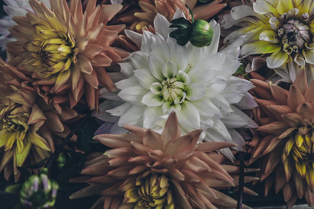 Blommor, Dahlia