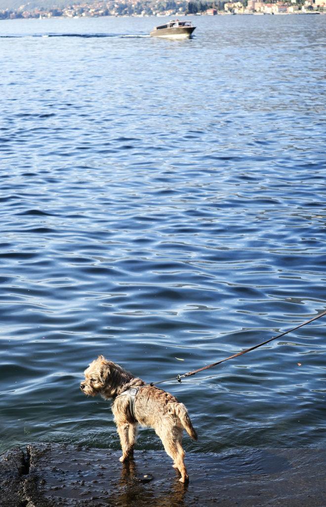 b ila med hund till bellagio