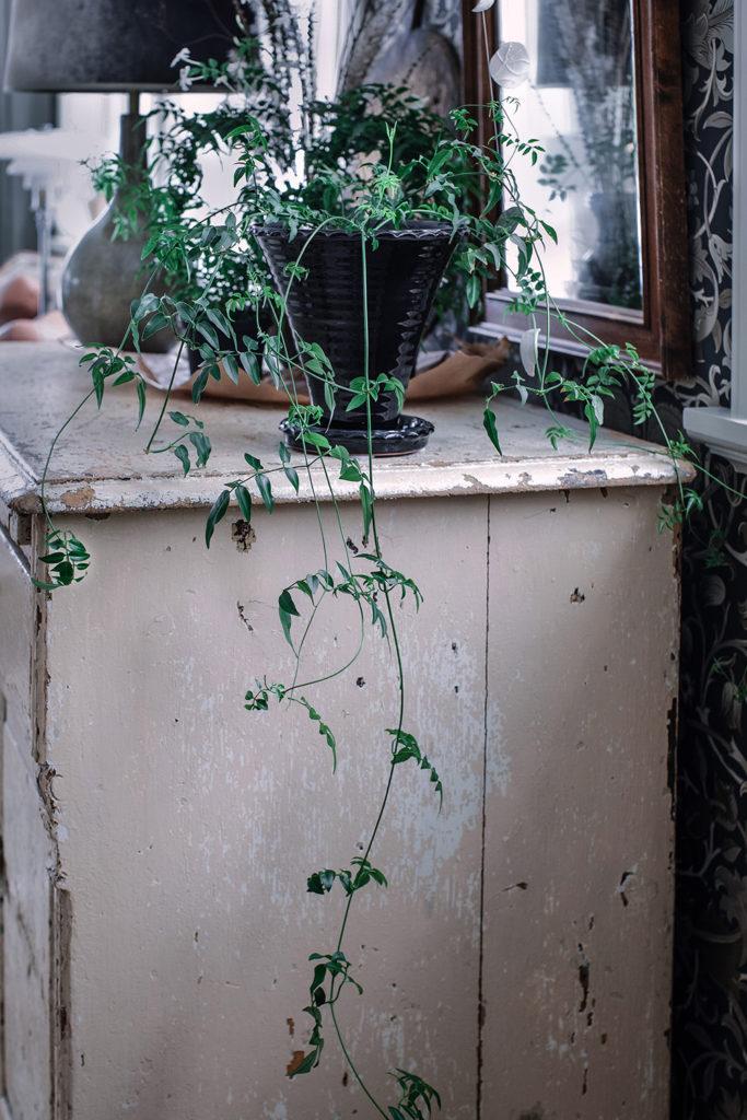 Vippjasmin utan båge, Krukväxt